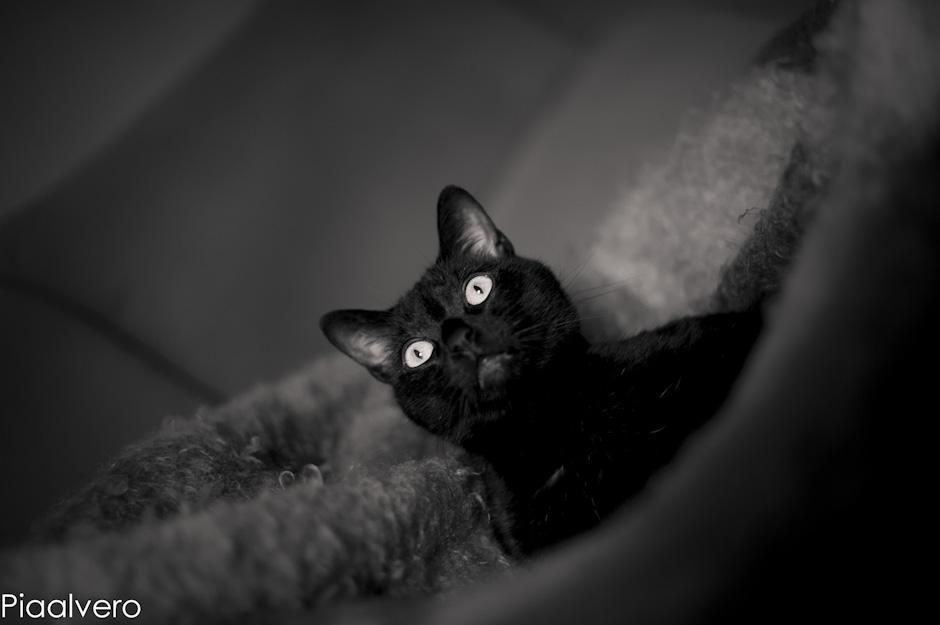 piaalvero fotografa, fotografía de animales, fotografía en igorre, gatos, gatos negros, fotografía de gatos negros.